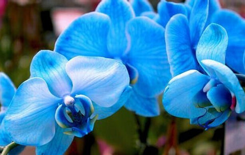 100 Blue Orchid Seeds FREE SHIPPING