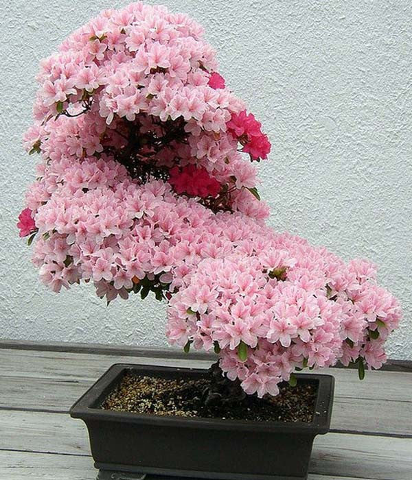 Rare Sakura Bonsai Cherry Blossom Seeds - FREE SHIPPING
