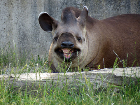 Toothy Smile Tapir ~ Tapir Tuesdays