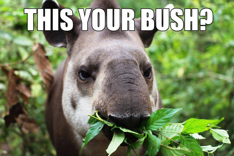 This your Bush Tapir