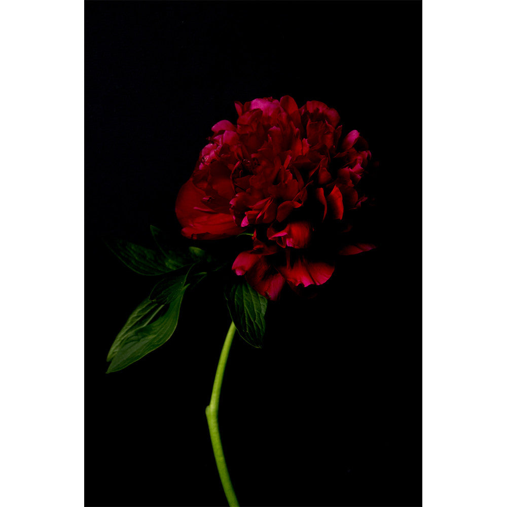 Peony - Baby Red