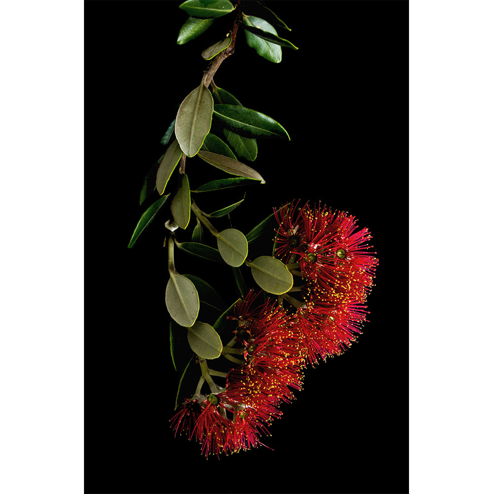 Pohutukawa - New Zealand native
