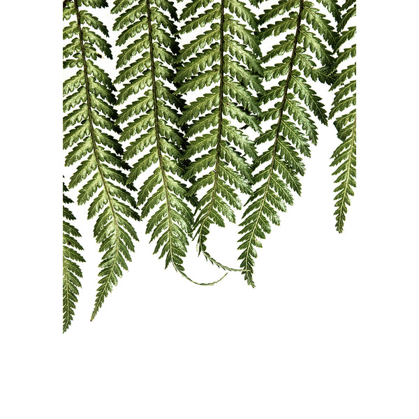 Fern on White - New Zealand native