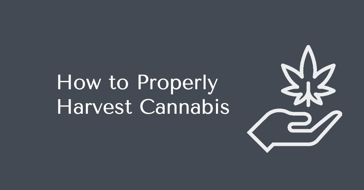 How to Properly Harvest Cannabis
