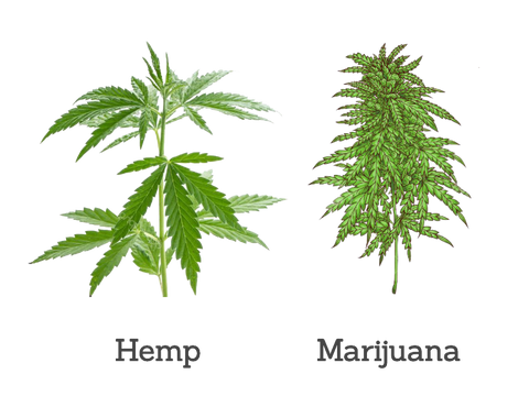 Hemp vs Marijuana Appearance