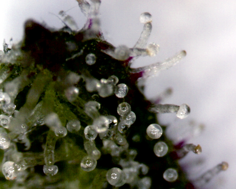When To Harvest Cannabis Trichomes