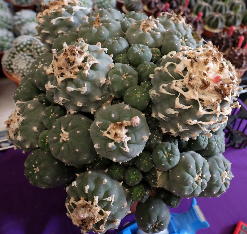 Peyote cactus in Thailand. Astrophytum, lophophora, ariocarpus and many more.