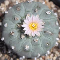 Lophophora williamsii variety texensis peyote seeds