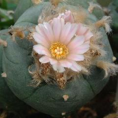buy Lophophora williamsii v Cardona