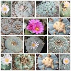 Choose 3 different peyote seeds varieties