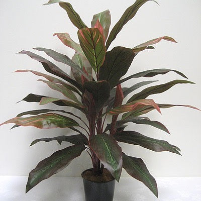Cordyline Plant Green and Red