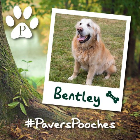 Bentley #PaversPooches