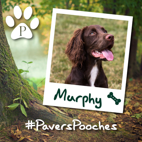 Murphy #PaversPooches