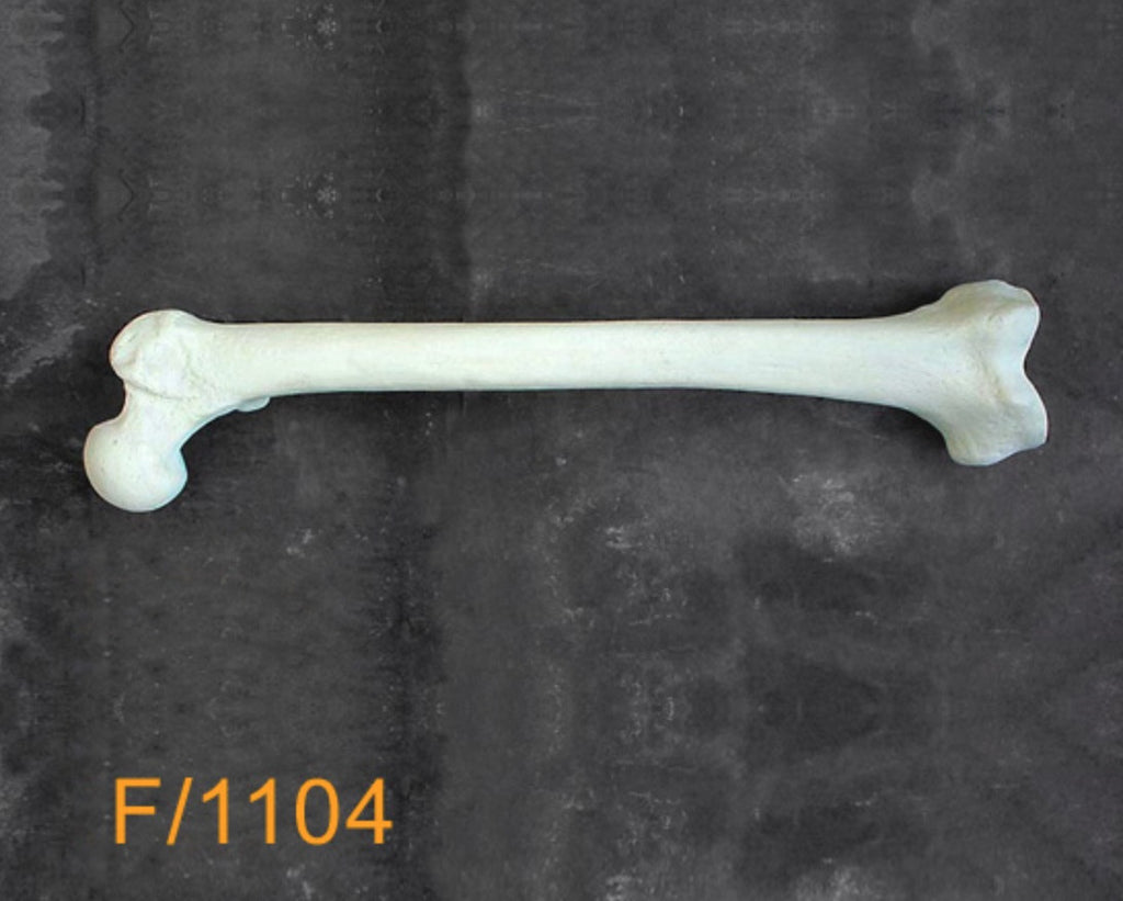 Femur Large Left. F1104