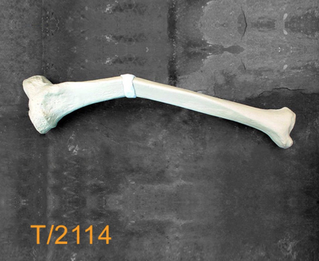 Tibia Large Left. T2114
