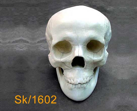 Full Skull – With mandible, mid-face fracture SK1602
