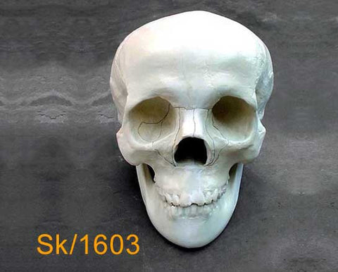 Full Skull – With mandible, naso-orbital-ethmoidal fracture SK1603