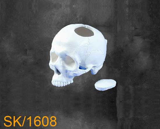 Full Skull - Without Mandible SK1608