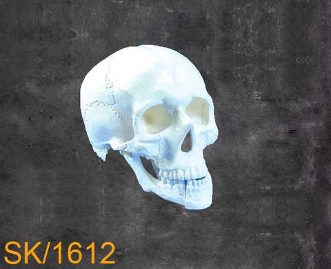 Full Skull – With Mandible with multible fractures SK1612
