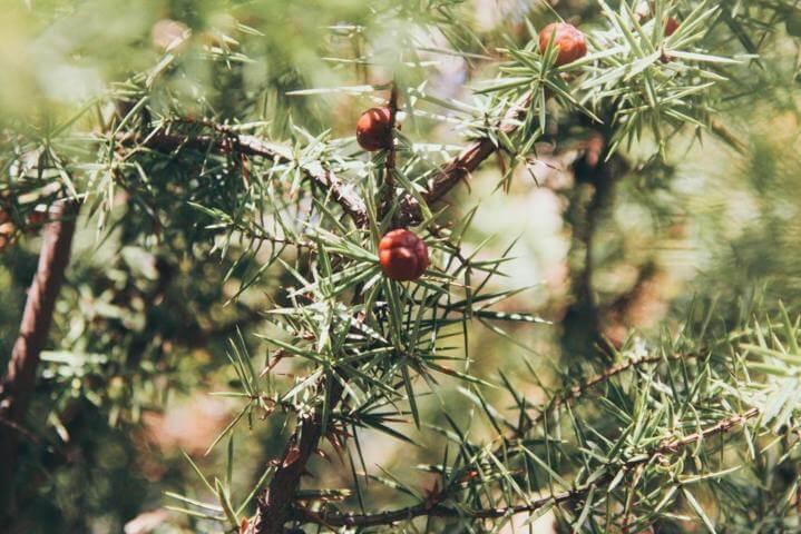 woody branch of a plant with thin leaves and red fruits hanging