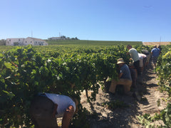 Bodegas Hidalgo Sherry Harvest Palomino Grapes