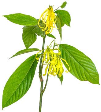 Ylang Ylang Nature Identical