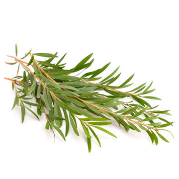 Tea Tree or Melaleuca Alternifolia (Australia) EO - Type 1