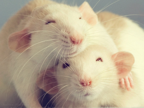 Rats Are People Too - Find Out How Much Like us They Are