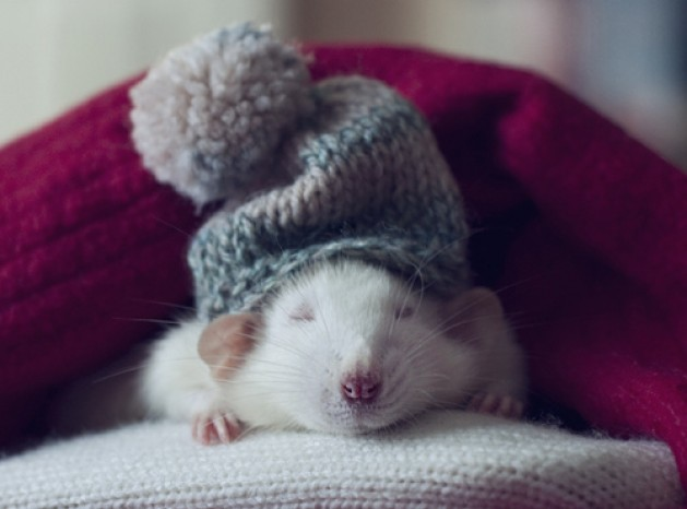 9 Rat Photos Guaranteed To Brighten Your Day