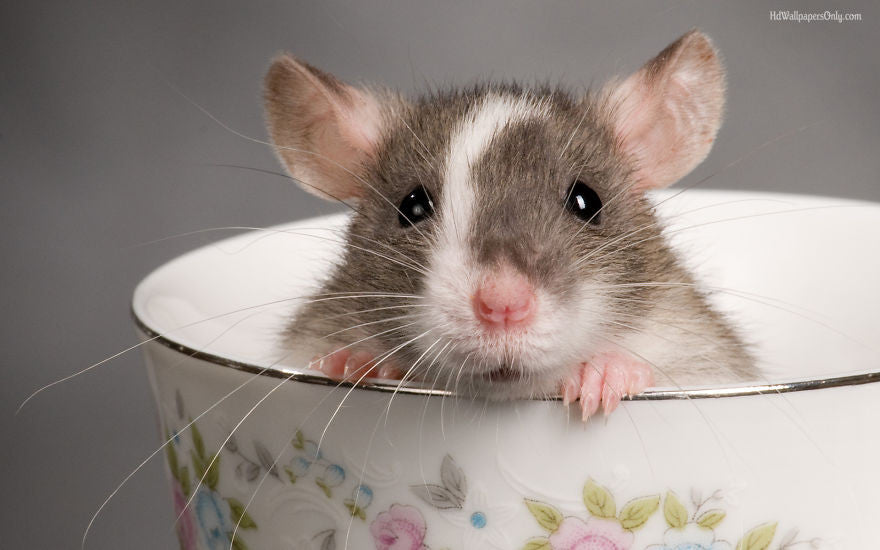 17 Adorable Rat Pics Proving That They Can Be The Cutest Pets Ever