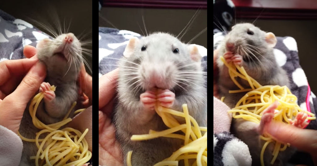 Pet Rat Loves Munching On Pile Of Spaghetti -  Must-Watch video