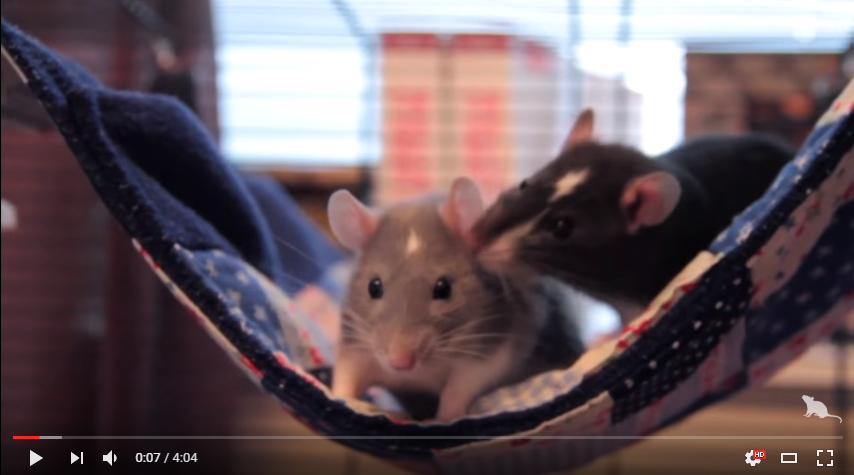 Einstein & Darwin | Adorable Pet Rats! ♥