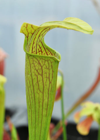 "Sarracenia alata var. alata ""hooded form"" (Jackson Co, MS)"