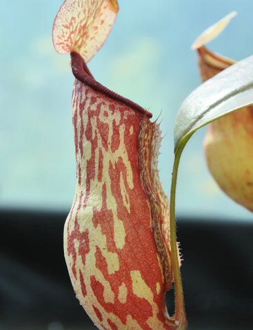 Nepenthes x Gaya