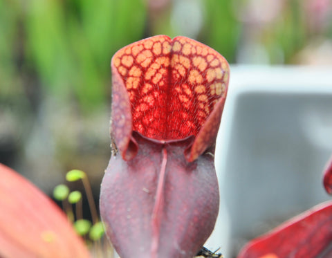 Sarracenia x (x courtii x purpurea)