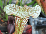 "Sarracenia x ""sky watcher"""