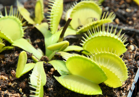 "Dionaea ""all green"""