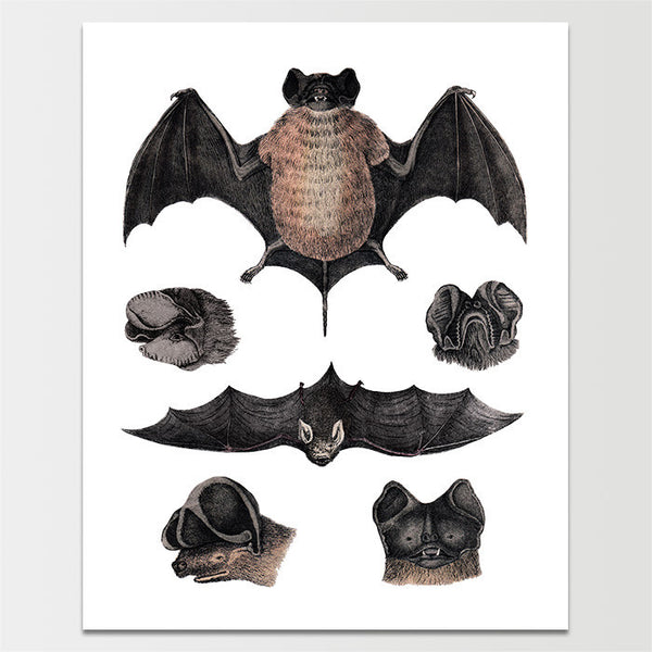 "Sale! 6X8"" Bats on Display Print *REMASTERED*"
