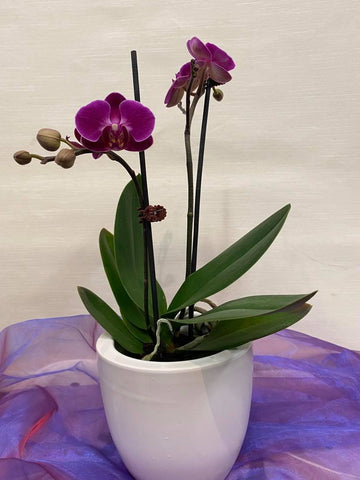 Mini Orchid in Ceramic Container