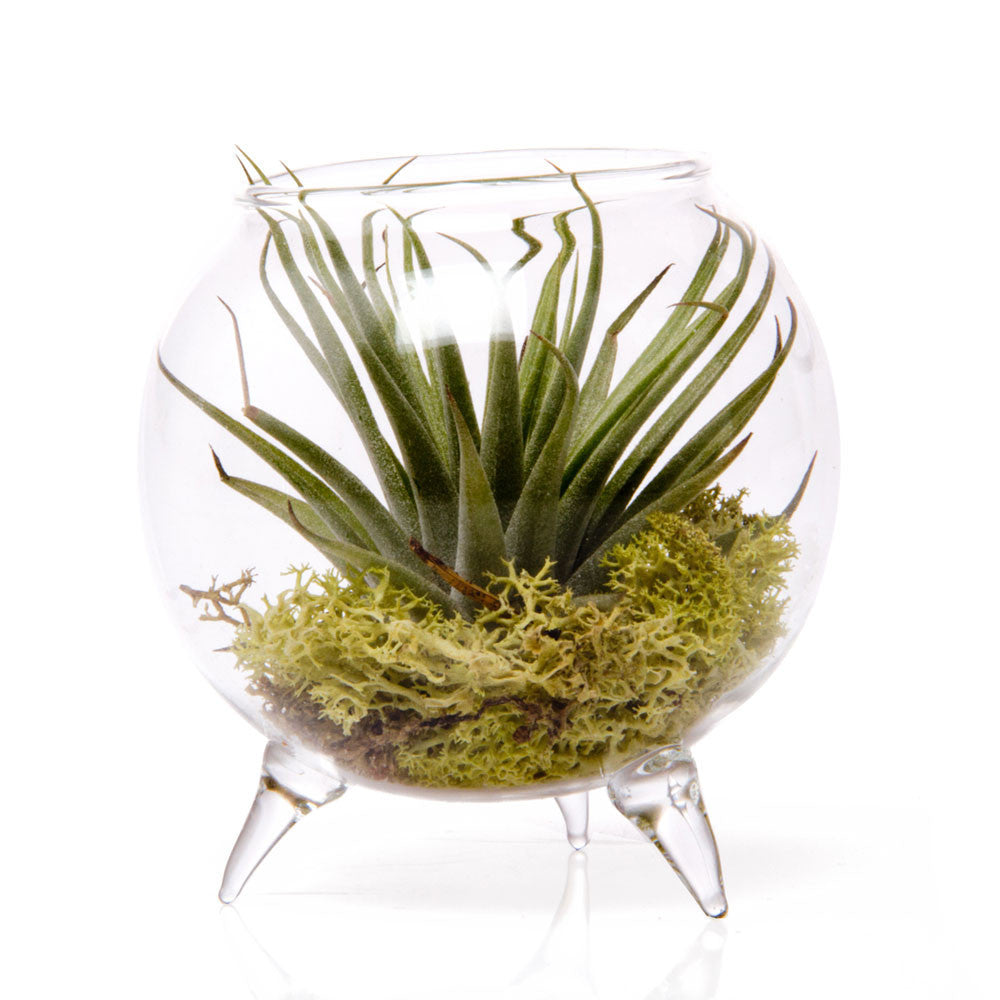Terrarium Single Chive Products Llc
