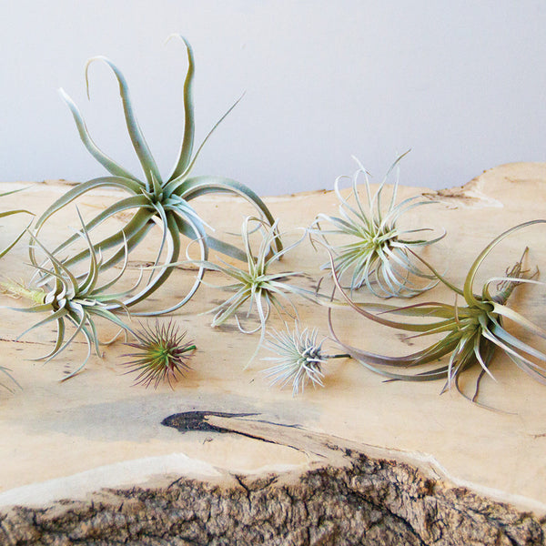 Air Plants Garden   Chive Products, LLC