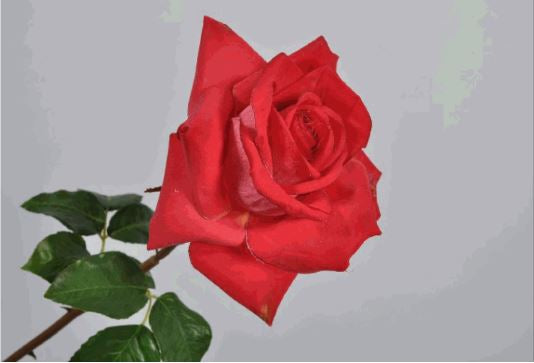 Rose 53cm Red White