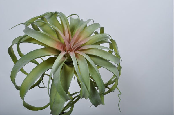 Tillandsia 32cm Green Burgundy