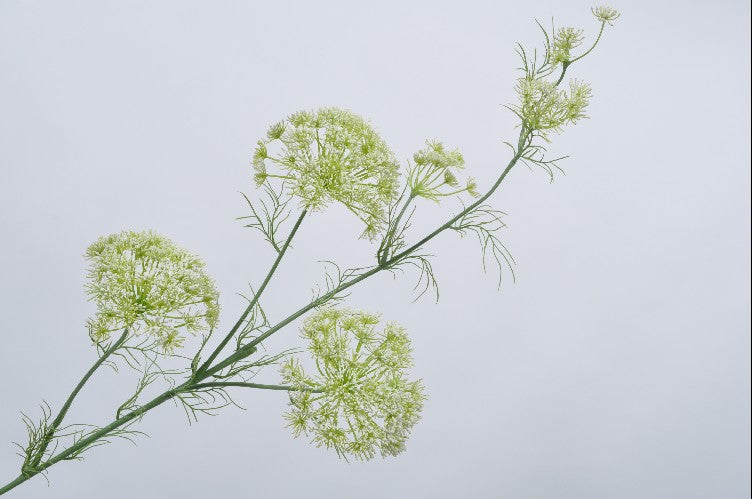 Queen Anne's Lace | Aneth 122cm White