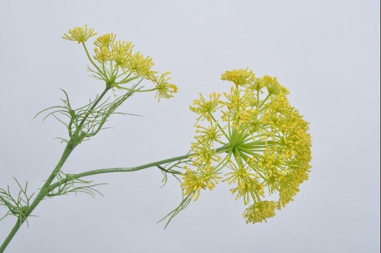 Queen Anne's Lace | Aneth 66cm Yellow