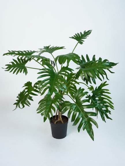 Philodendron 99cm