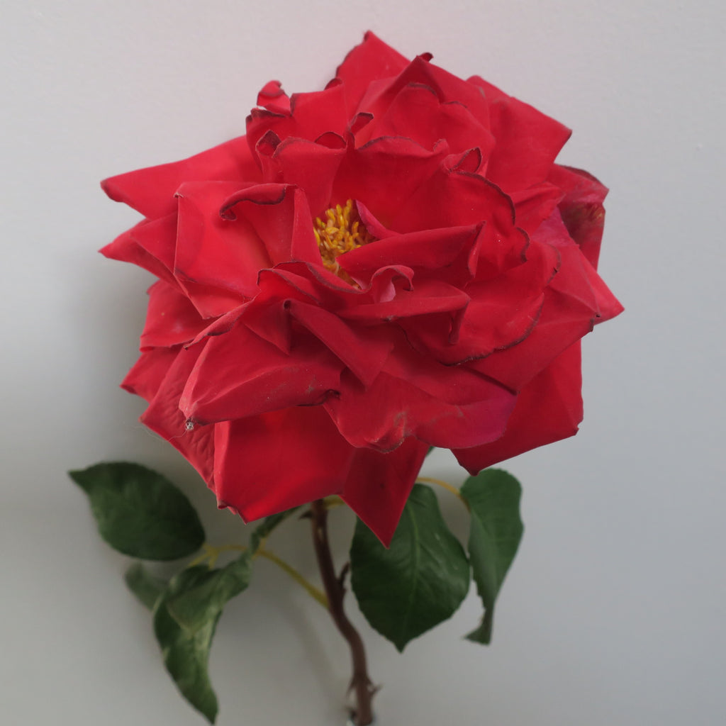 Rose 51cm Red
