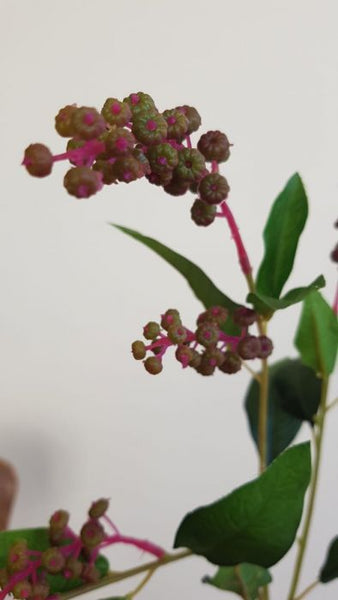 Phytolacca | Raisin d'Amérique 75cm Pink Green