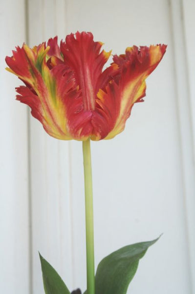 Tulip 70cm Red Yellow
