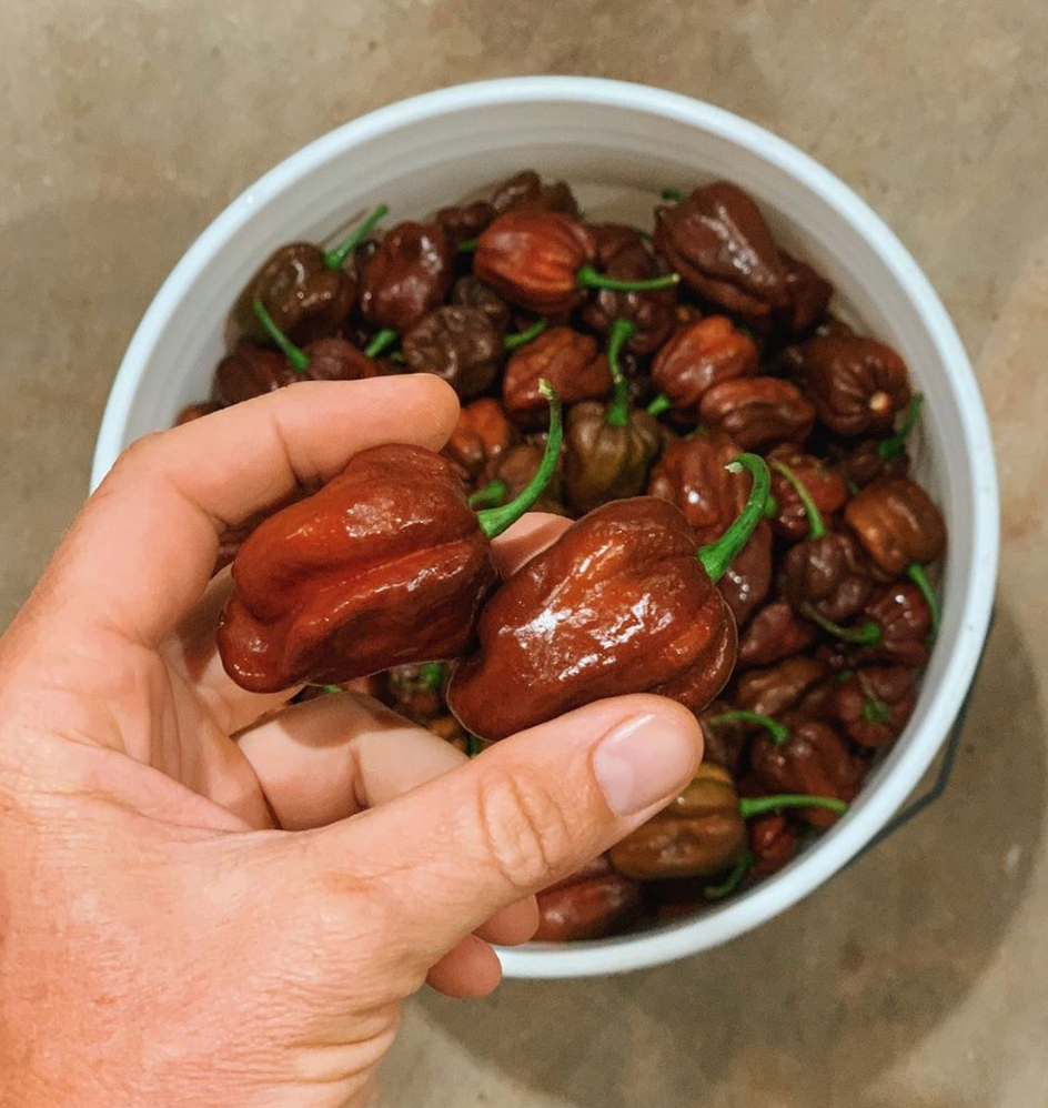 hand holding chocolate habanero peppers above large bucket of peppers